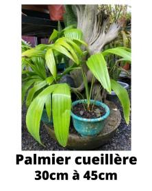 PALMIER CUEILLERE min30cm-max45cm
