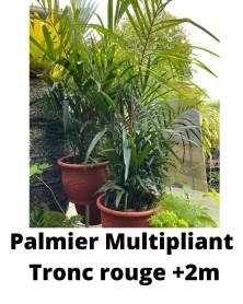 PALMIER MULTIPLIANT TRONC ROUGE Plusde2m